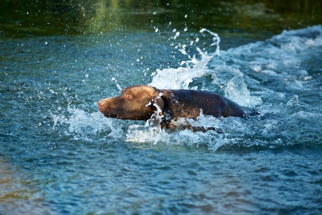 Deutsch Kurzhaar bei der Wasserarbeit